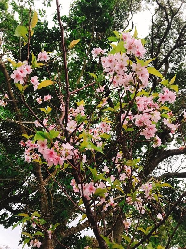 季節外れの桜咲く!