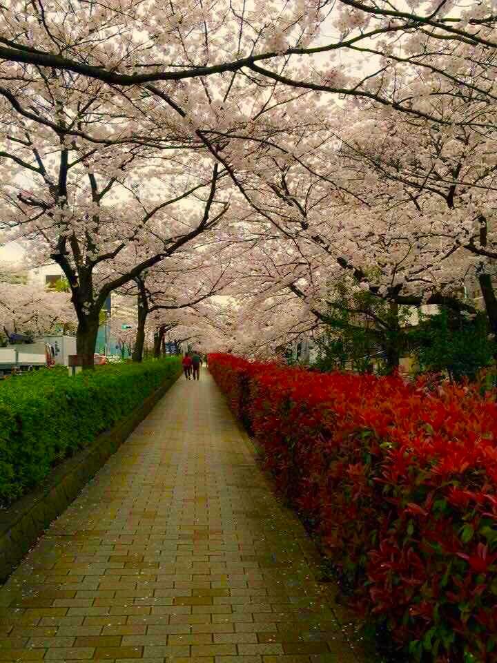 名護桜祭り