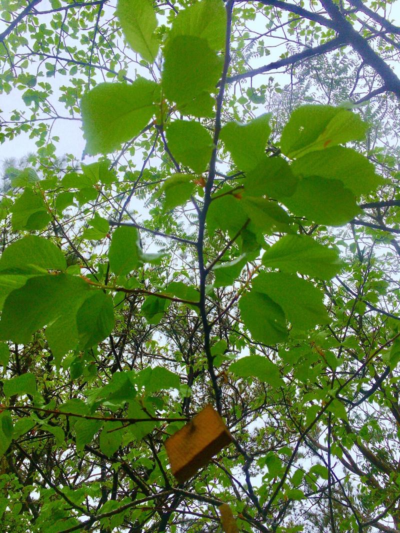 沖縄は葉桜ですが桜始開