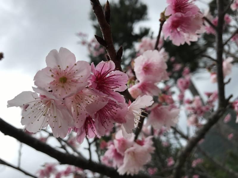 ↑この写真は一昨年もとぶ八重岳桜まつりで撮影したものです